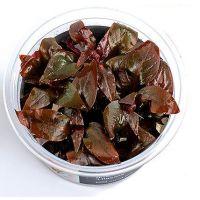 Alternanthera reineckii Lilacina invitro
