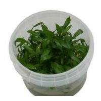 Cryptocoryne walkeri lutea  invitro