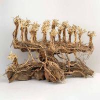 Kořen Old Forest Bonsai M