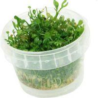 Marsilea angustifolia invitro